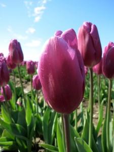 tulip-close3