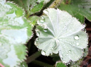 secret-garden-alchemilla